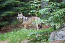 Wolf von Michael Lindegger