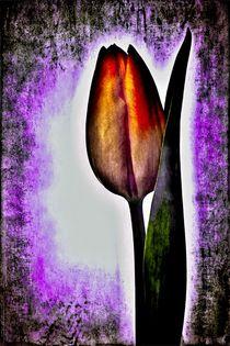 Farbige Tulpenwelt von leddermann