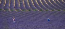 purple lavender by emanuele molinari