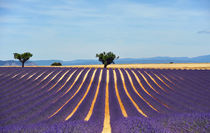 provence lavender field by emanuele molinari