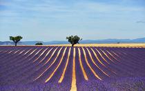 provence lavender field von emanuele molinari