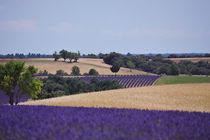 purple fields by emanuele molinari