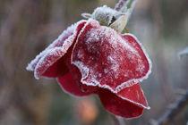 Rose 1 von Bernd Fülle