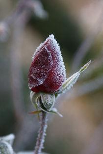 Rose 2 von Bernd Fülle