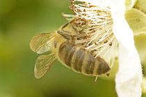 Biene von hinten von toeffelshop