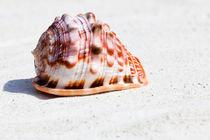 Großes Muschel - Large seashell von Thomas Klee