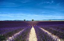 purple lines by emanuele molinari
