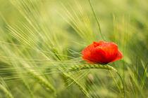 Mohnblume im Gerstenfeld von Andre Hauschild