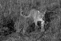Wild female leopard approaching through grasses in black and white by Yolande  van Niekerk