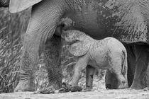 Baby African elephant suckling from its mother von Yolande  van Niekerk