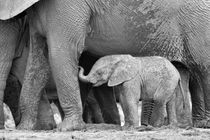 Baby-elephant-standing-next-to-mom-in-b-and-w