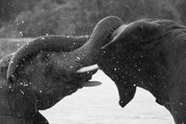 Close-up-of-wrestling-elephants-b-and-w