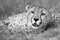 Resting Cheetah Close Up in Black and White by Yolande  van Niekerk