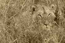Lion in Grass - Sepia by Yolande  van Niekerk