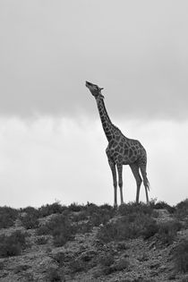 Giraffe drinking from clouds by Yolande  van Niekerk