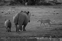 Leopard-walking-past-rhino-mother-and-calf-b-and-w
