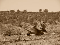 Lion-patriarch-resting-on-kalahari-dune-in-sepia