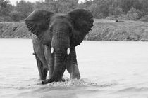 Young-elephant-bull-in-black-and-white