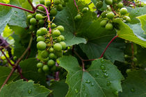 grapes in the rain von feiermar