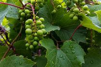 Grapes-in-the-rain-a-crop-i
