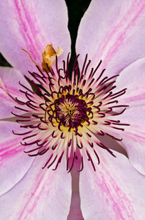 Clematis by Pete Hemington