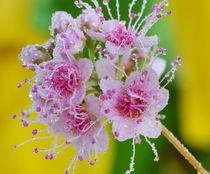 Nature - jeweler. Flower of Apple trees in rain drops von Yuri Hope