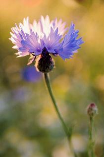 Wild Cornflower by Jeremy Sage