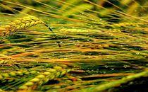 stormy wheat von gunter70