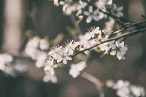 Weiße Blüten von Fabienne Kruse