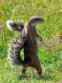 Eichhörnchen in Position by moyo