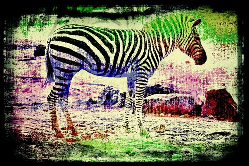 Zebra-1003-6000i