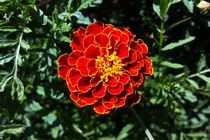 Marigold by feiermar