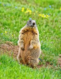 Sentinel marmot by Antonio Scarpi