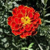 dark orange marigold von feiermar