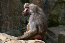 OLIVE BABOON in the Zoo von captainsilva