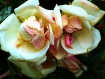 zeit der rosen von hedy beith