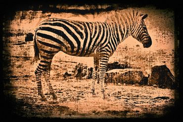 Zebra-1004-6000f