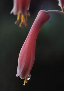 Aloeverablüten von Gisela Peter