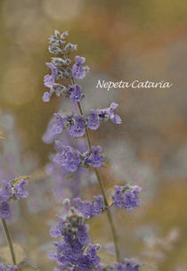Nepeta cataria - catmint by Jacqi Elmslie