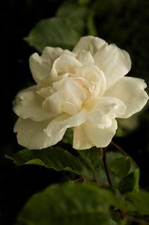 Romantic White Rose by Jacqi Elmslie