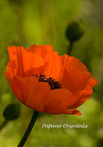 Red Oriental Poppy - papaver orientalis by Jacqi Elmslie