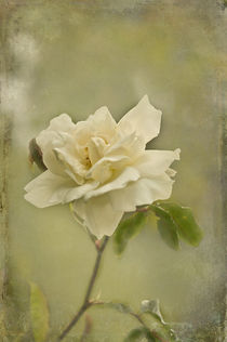 Vintage White Rose by Jacqi Elmslie