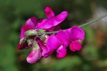 Erbsenblüten von fotolos