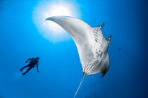 Dancing with a Manta Ray von Gerald Wacker