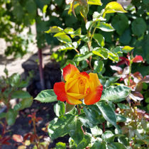 a rose in a garden by feiermar