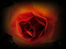 feuerrose by hedy beith
