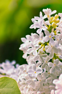 White Lilac Flowers von Vicki Field