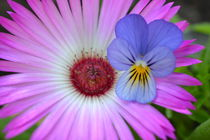 Mittagsblume-Zwergstiefmütterchen von Ute Bauduin