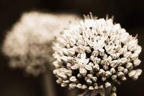 Onion flowers von Gaspar Avila