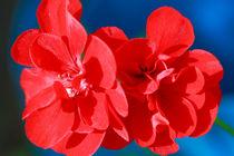 Red garden flowers by Gaspar Avila